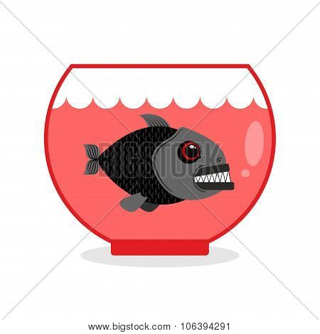 Piranha In Aquarium. Dangerous Home Sea Creature. Wild Predator At Home. Wicked Toothy Fish In Capti