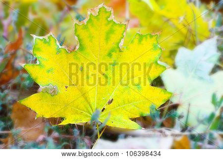 Yellow maple leaf falling to ground, background in autumn colors