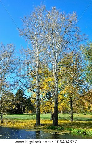 Two autumn aspen(poplar) tree in the park.