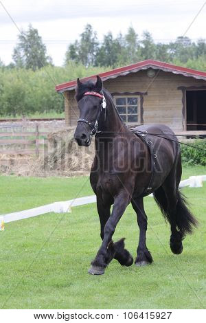 black friese horse at show