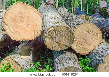 Felled Timber On The Felled Area