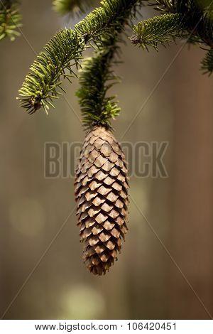 Cone Spruce