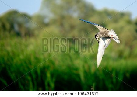 Flight of the river gull.