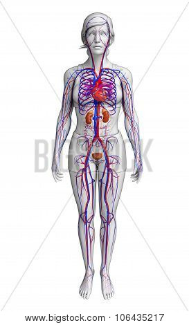 Female Circulatory System