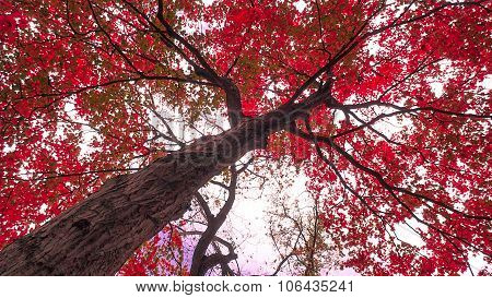Sugar Maple Tree with Red Crimson Fall or Autumn Foliage.
