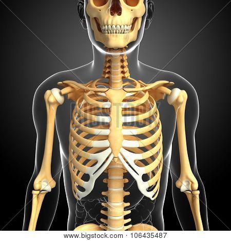 Human Front View Skeleton