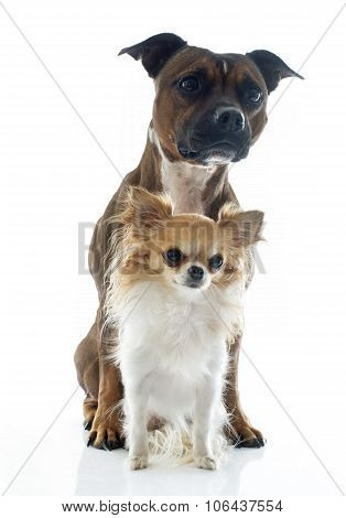 Staffordshire Bull Terrier And Chihuahua