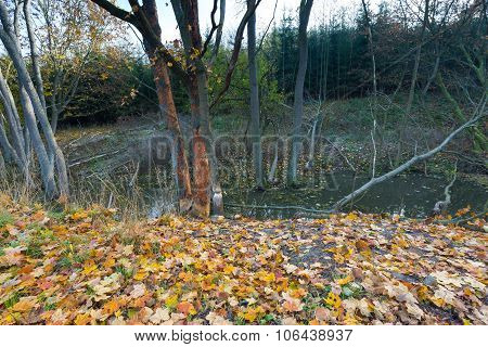 Landscape With Trees Gnawed By Beavers