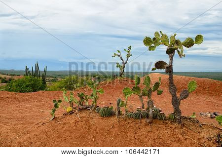 Few Different Cactus In Bright Orange Soil Of Tatacoa Desert