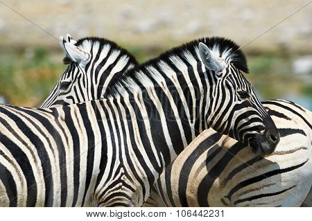 Two Zebras Watching In Different Directions