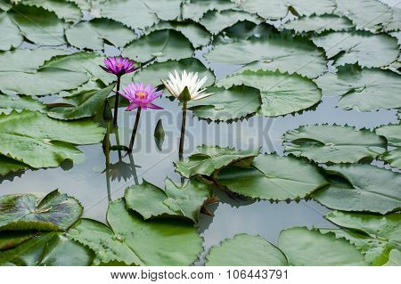 Purple And White Lily Pad Flowers Asia
