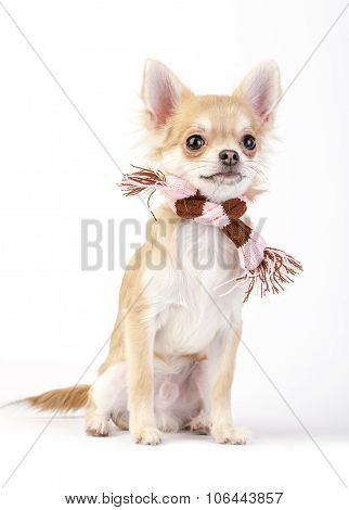 Chihuahua dog with striped pink and brown scarf