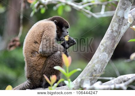 A Woolly Monkey in the Peruvian Rain Forest eating a banana. The woolly monkeys are the genus Lagothrix and have prehensile tails.