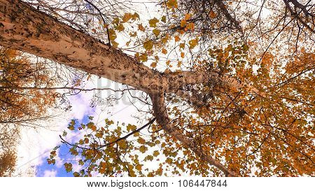 Tuning Fork Shaped Sycamore Tree with Fall or Autumn Foliage.