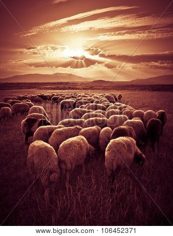 Sheep On Sunset
