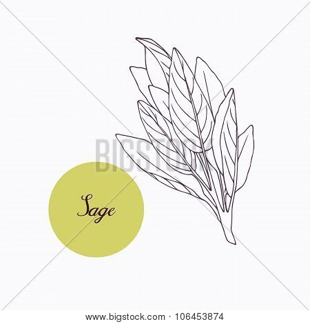 Hand drawn sage branch with leaves isolated on white