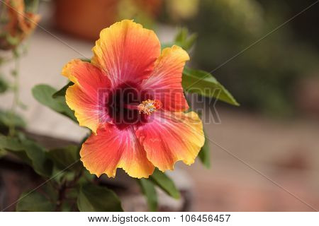 Sunset Hibiscus flower with detailed stamen