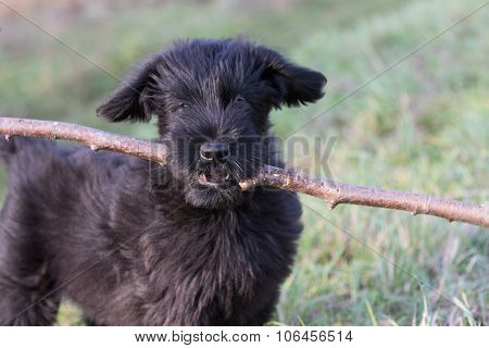 Portrait Of The Puppy Of The Giant Black Schnauzer Dog