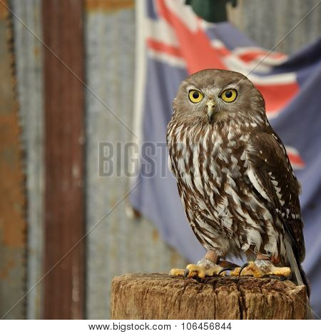 Burrowing Owl with Australian Flag