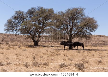 Wild (connochaetes Taurinus) Blue Wildebeest