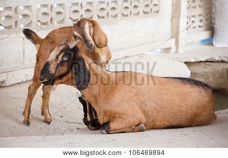 Goat And Kid Goat