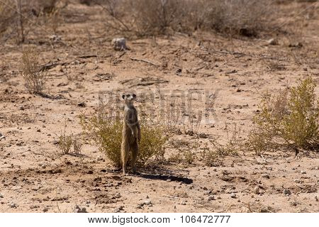 Female Of Meerkat Or Suricate