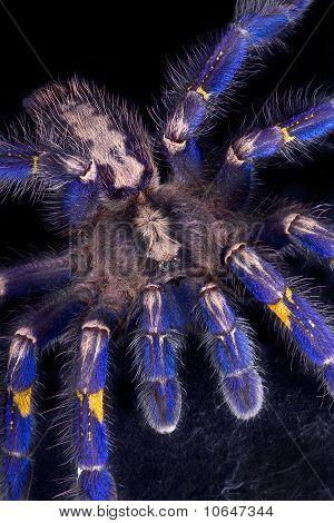 Tarantula azul arrastrándose