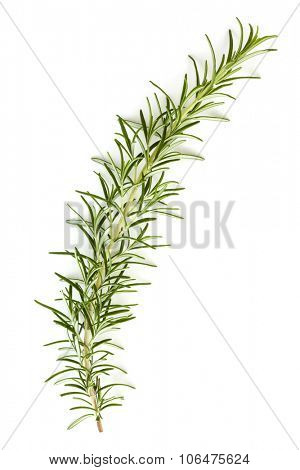 Rosemary sprig isolated on white background.