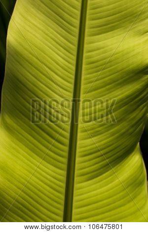 Banana Plants And Leaves Asia.