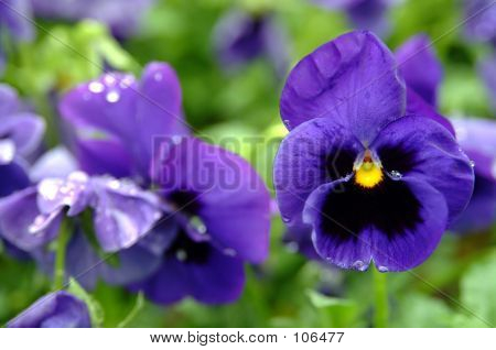 Bright Blue Pansy Flower