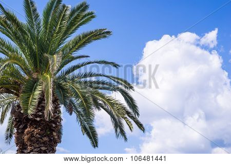 Big Palm Tree Closeup