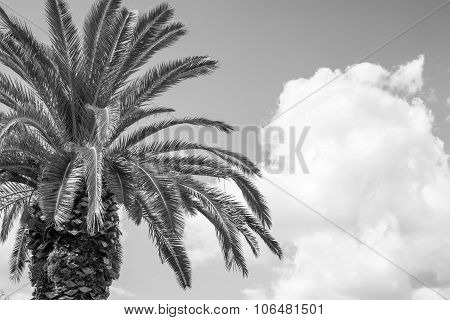 Big Palm Tree Closeup Of Monochrome Tone