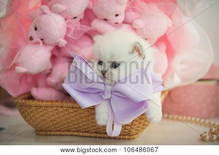 British purebred kitten in a basket on pink background teddy bea