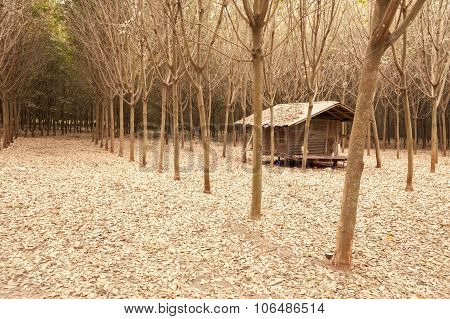 Rubber Tree Plantation Asia Framing And Agriculture