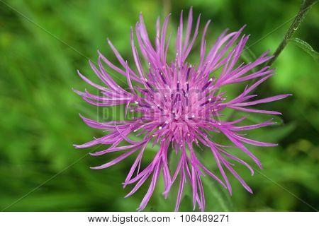 Greater knapweed flower