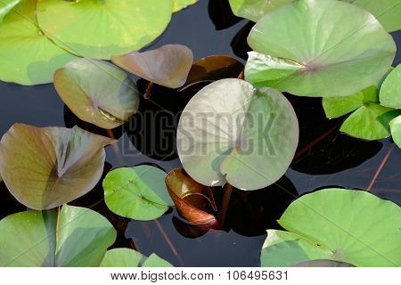 Lotus Floating On A Pond