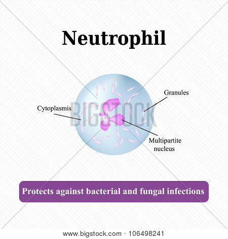 The structure of the neutrophil. Vector illustration