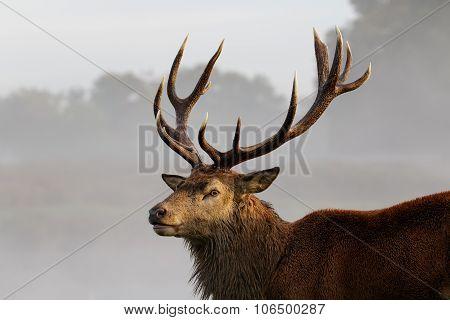 Red Deer stag portrait