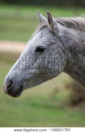 Grey Pony
