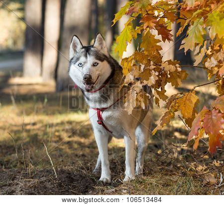 Siberian Husky In Autumn Forest.
