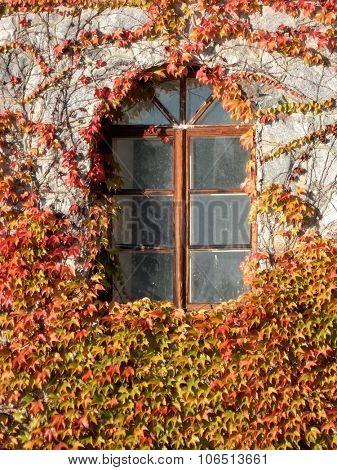 autumn window in ivy