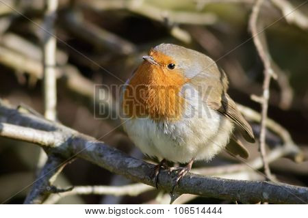 European Robin Puffed Up
