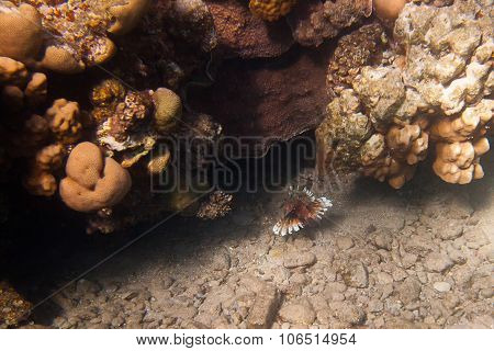 Pterois Volitans, Or Lionfish  Is Underwater