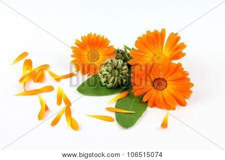 Calendula Flower, Marigold