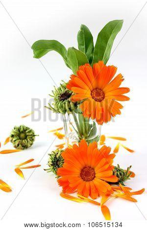 Calendula Flower, Marigold In Glass