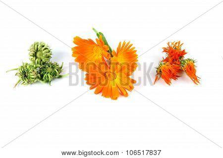 Calendula Officinalis Flower, Marigold, Dried, Seeds
