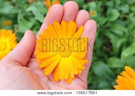 Calendula Officinalis Flower, Marigold In Hand