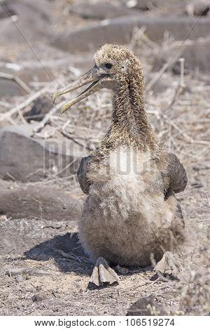 Baby Galapagos Albatross Sitting