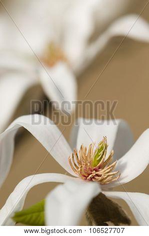 Magnolia Stellata, Star Magnolia Flowers