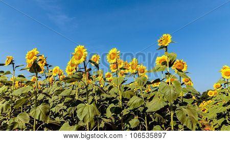 sunflower plantation agriculture farm captured on a sunny morning against light blue sky background